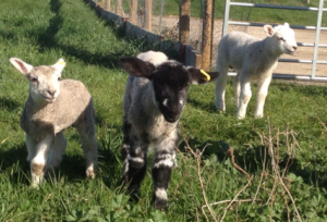 Visit the lambs in the farmyard