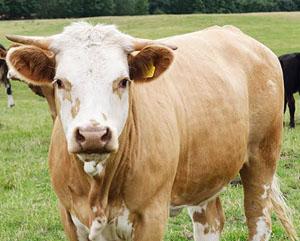 Foxholes Cow