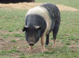 Visit our pigs on the farm in Hertford