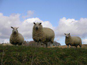 sheep-1568339-1600x1200