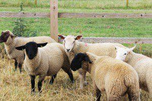 sheep52